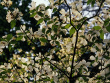 Branches of a Dogwood Tree in Bloom