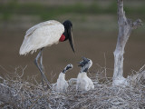 Jabiru Stork  Jabiru Mycteria  and Young in their Nest