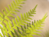 Common Sword Fern Fronds  Polystichum Munitum