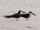 A Pair of Black Skimmers  Rhynchops Niger  Walking in the Sand