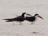 A Pair of Black Skimmers  Rhynchops Niger  Walking in the Sand