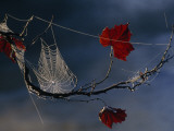 A Orb-Weaving Spider&#39;s Web on a Sycamore Tree Branch