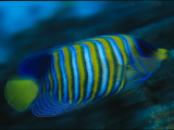 A Regal Angelfish Swimming in Blue Water