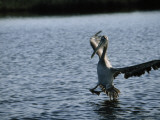 A Pelican Comes in for a Landing