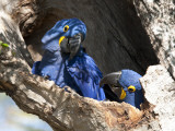 Pair of Hyacinthine Macaws  Anodorhynchus Hyacinthinus  in a Tree