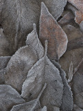 Frosty Leaves Lie on the Ground in Early Morning at Yosemite Valley