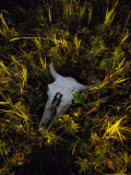 The Sun Glows on a Bleached Bison Skull Laying in the Grass