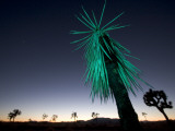 A Mojave Yucca Plant  Yucca Schidigera  with Green Light