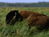 A Bison Is All But Hidden in Tall Grass