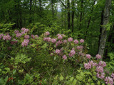 Catawba Rhododendrons in Hanging Rock State Park  North Carolina