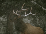 A Bull Elk in a Winter Storm  Vermilion Lakes  Banff National Park