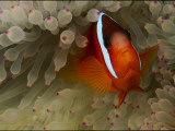 A Tomato Clownfish Amid the Stinging Tentacles of a Sea Anemone