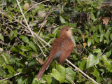 A Squirrel Cuckoo  Piaya Cayana  Perched in a Bush