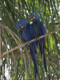 Pair of Hyacinth Macaws  Anodorhynchus Hyacinthinus  in a Tree