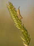 A Grasshopper Sits on Grass in the Little Missouri National Grasslands