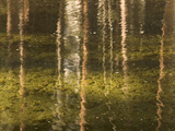 Tree Trunks are Reflected in Yosemite Creek in Yosemite Valley