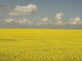 Field of Canola Plants with Yellow Flowers Shot in the Grasslands Papier Photo par Phil Schermeister