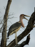 A Marabou Stork in the Okavango Delta Area of Botswana