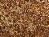 Photo Magnifying Detail of a California Black Oak Leaf