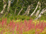 Birch Trees and Flowering Tundra Plants in Kronotsky Nature Reserve