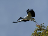 Wood Stork  Mycteria Americana  Leaping into Flight from a Tree