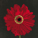Midnight Gerbera III