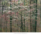 Pink and White Dogwoods  Kentucky