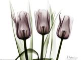 Trio of Tulips I