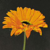 Midnight Gerbera II