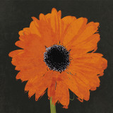 Midnight Gerbera I