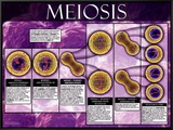 Meiosis