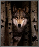 Wisdom: Gray Wolf