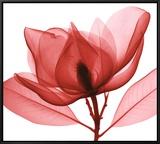 Red Magnolia I
