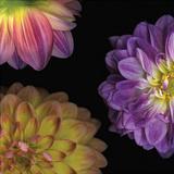 Purple Dahlia I