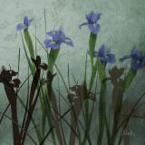 Blue Irises I
