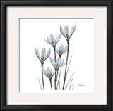 White Rain Lily III