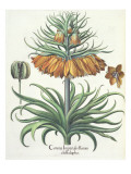 Fritillary: Corona Imperialis Florum Classe Duplici  from the 'Hortus Eystettensis' by Basil Besler