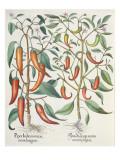 Peppers: 1Piper Indicum Maximum Longum; 2Piper Indicum Minus Recurvis Filiquis