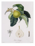 Poire D'Ange  Engraved by Bocourt  Published 1755