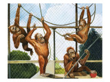 Orangutans  Illustration from 'Who's Who at the Zoo'  1968