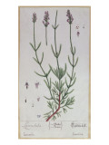 Lavender  Plate from 'Herbarium Blackwellianum' by the Artist  1757