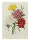Carnations  from 'Choix Des Plus Belles Fleures'  C1833