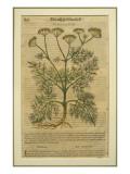 Fennel  a Botanical Plate from the 'Discorsi' by Pietro Andrea Mattioli