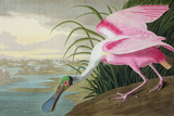 Roseate Spoonbill  Platalea Leucorodia  from 'The Birds of America'  1836