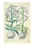 Lily: Two White Varieties from `Theatrum Florae' by ESweert