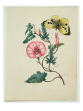 Convolvulus with Yellow Butterfly  from `Flowers'  an English Botanical Manuscript  C1840