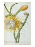Cactus: Cereus  from Trew's 'Plantae Selectae' 1750-73