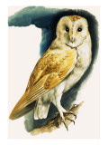Barn Owl  Illustration from &#39;Peeps at Nature&#39;  1963