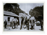 Jumbo the Elephant at London Zoo  1870S