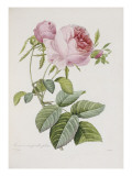 Rose  Engraved by Eustache Hyacinthe Langlois